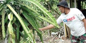 Hujan, Berkah bagi Petani Buah Naga