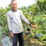 Petani Labu Tak Terpengaruh Musim Hujan