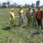 Bibit Tebu Mencapai 7,5 Hektare